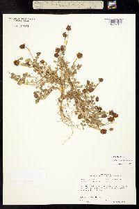 Image of Trifolium carolinianum