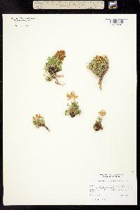 Image of Trifolium barnebyi
