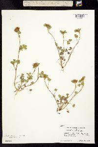 Trifolium hirtum image