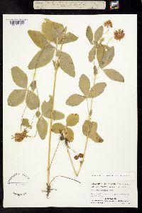 Image of Trifolium howellii