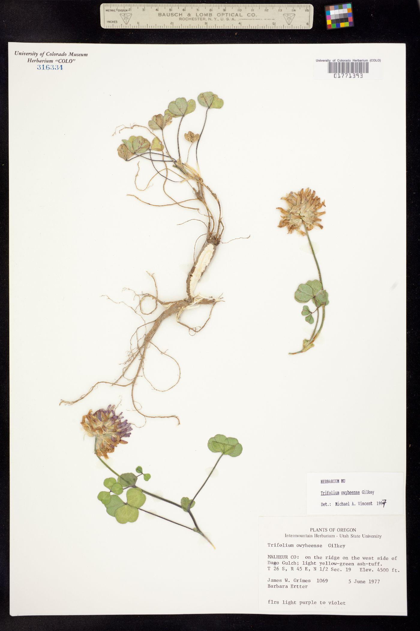 Trifolium owyheense image