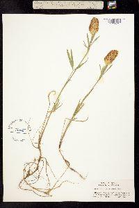 Image of Trifolium plumosum