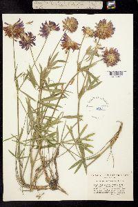 Image of Trifolium thompsonii