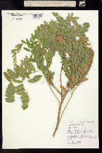 Image of Sophora leachiana