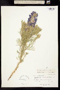 Image of Sophora stenophylla