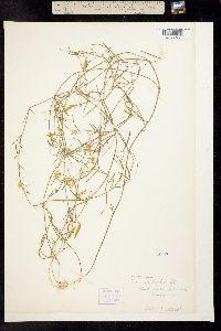 Image of Vicia acutifolia