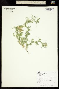 Vicia americana subsp. minor image
