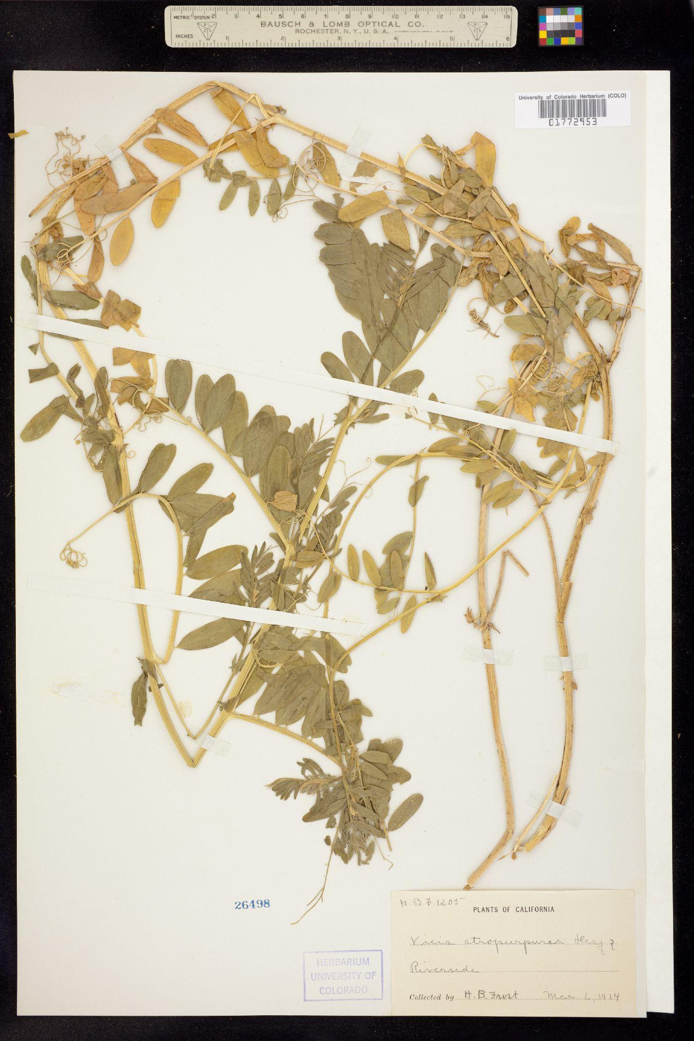 Vicia atropurpurea image