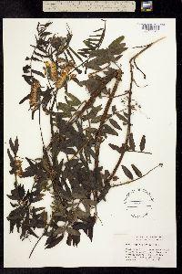 Image of Vicia gigantea