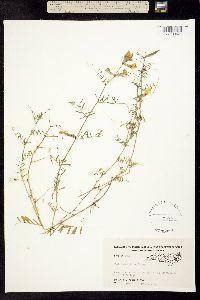 Image of Vicia grandiflora