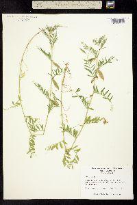 Image of Vicia lutea