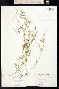 Image of Vicia minutiflora