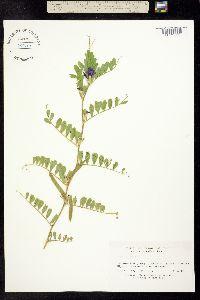 Image of Vicia sativa