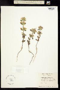 Image of Acanthomintha ilicifolia
