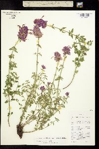 Image of Agastache cana