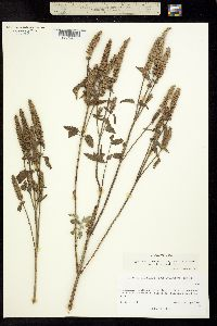 Agastache micrantha image