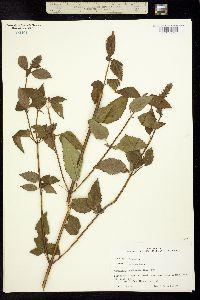 Image of Agastache nepetoides