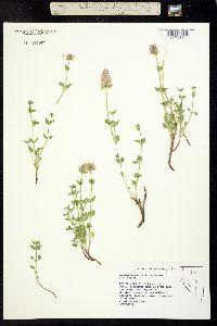 Image of Agastache cusickii