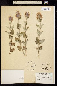 Agastache occidentalis image