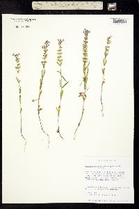Image of Warnockia scutellarioides