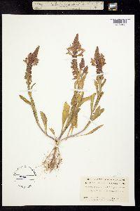 Image of Brazoria truncata