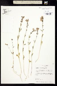 Image of Brazoria pulcherrima