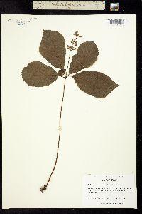 Image of Collinsonia verticillata