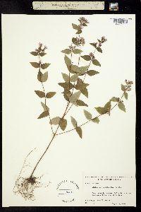 Cunila origanoides image