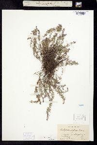 Image of Hedeoma diffusa