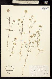 Image of Monardella exilis