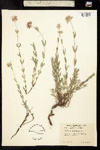 Monardella odoratissima image