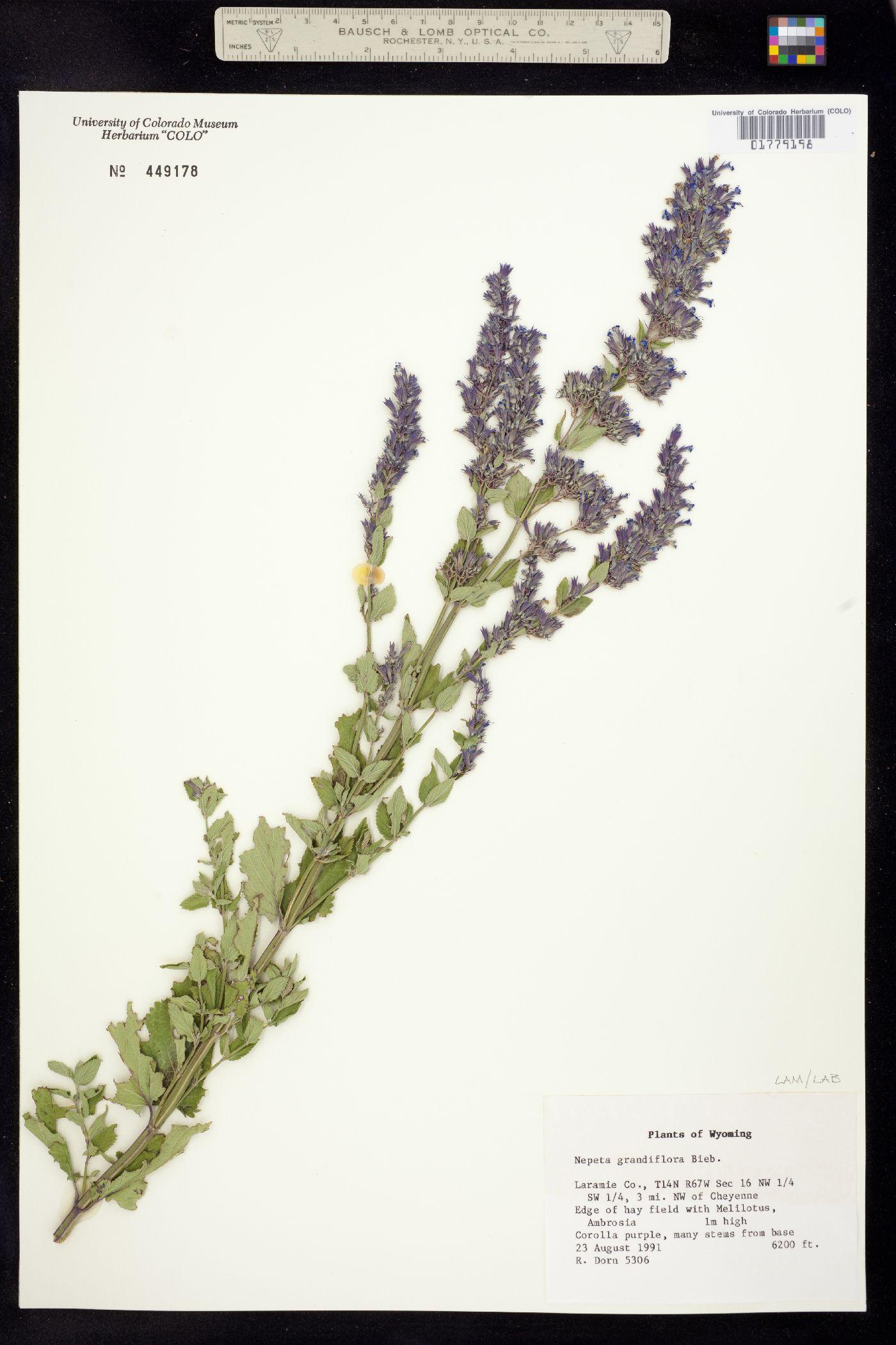 Nepeta grandiflora image