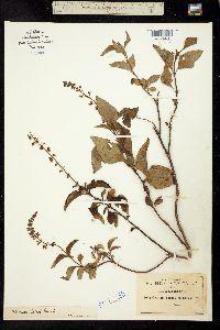 Ocimum selloi image