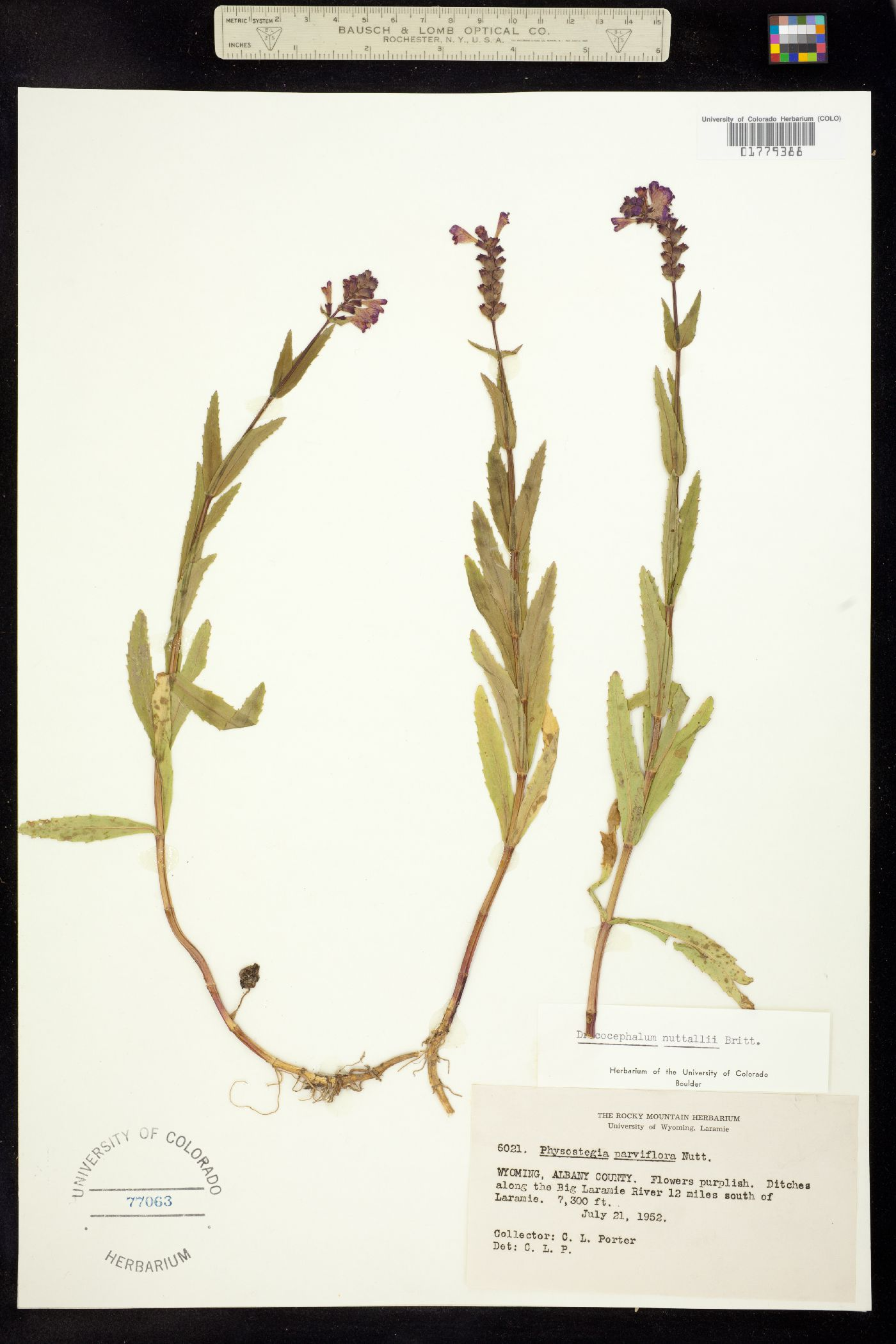 Physostegia parviflora image