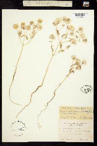 Image of Monardella leucocephala