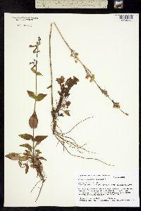 Image of Penstemon metcalfei