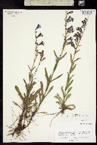 Image of Penstemon neomexicanus