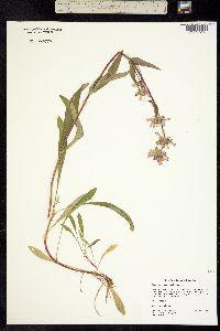 Image of Penstemon pratensis