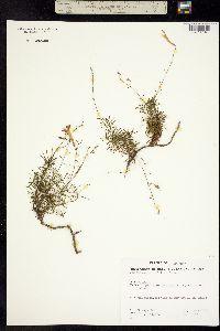 Image of Penstemon pinifolius