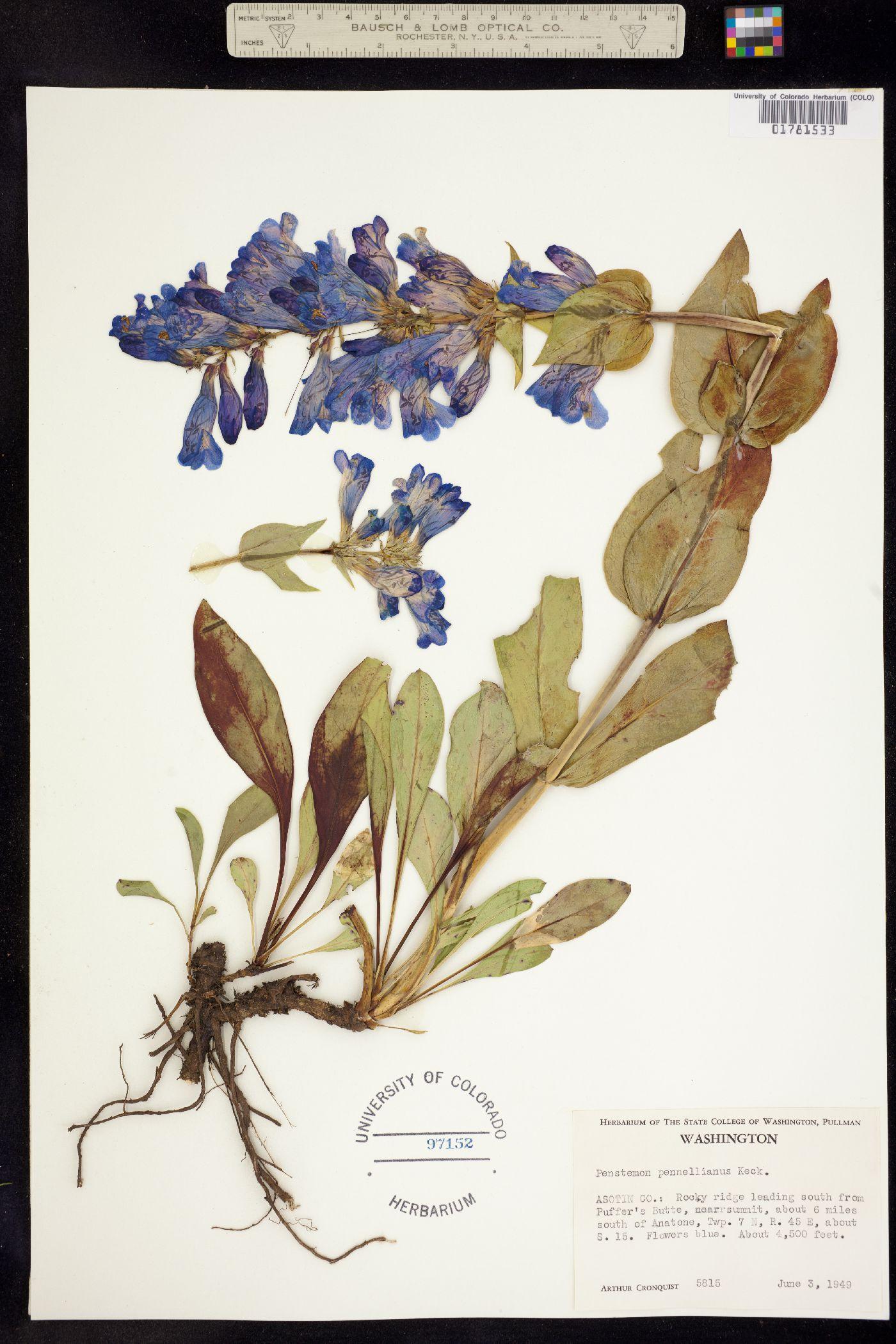 Penstemon pennellianus image