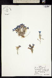 Image of Penstemon pumilus