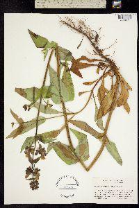 Image of Penstemon rattanii