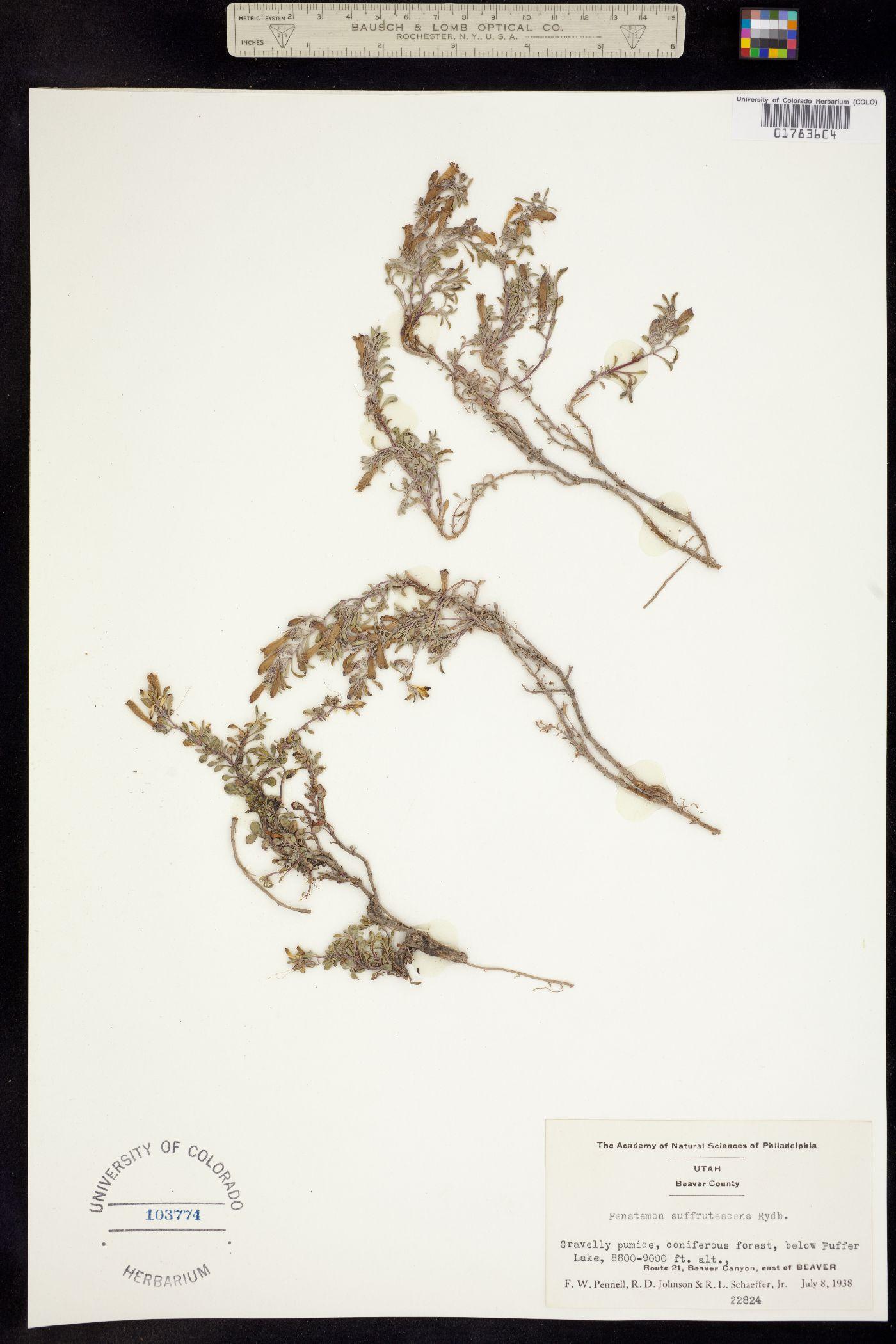 Penstemon crandallii ssp. crandallii image