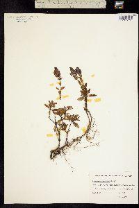 Penstemon scouleri image