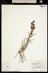 Penstemon triflorus image