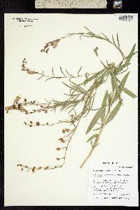 Penstemon sepalulus image