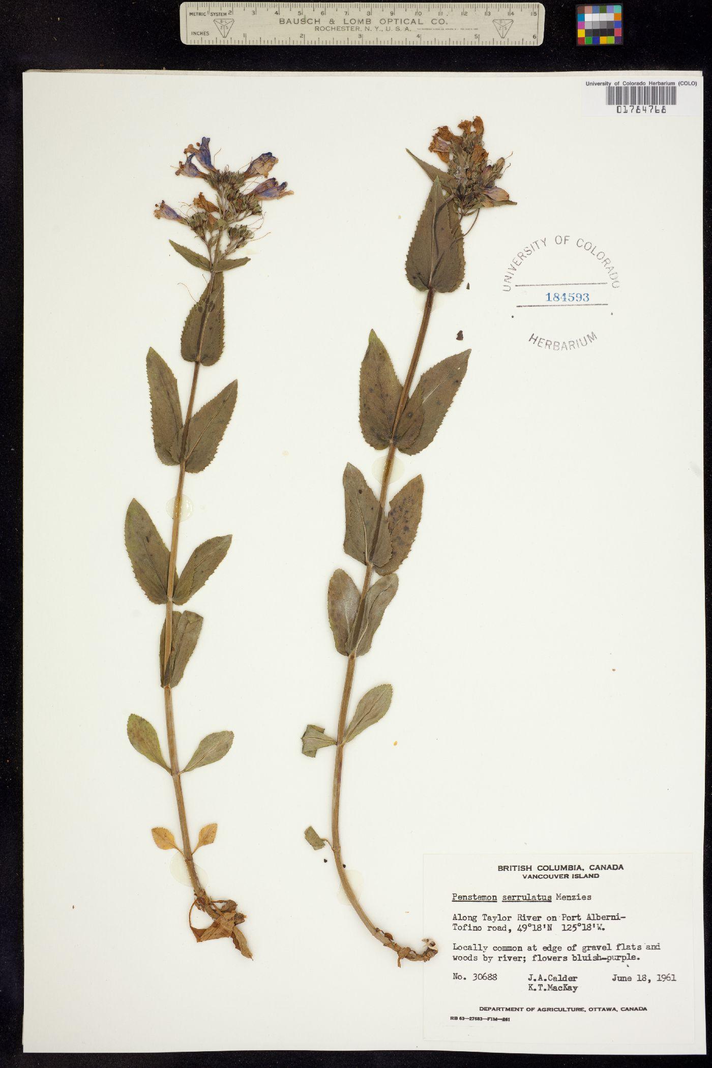 Penstemon serrulatus image