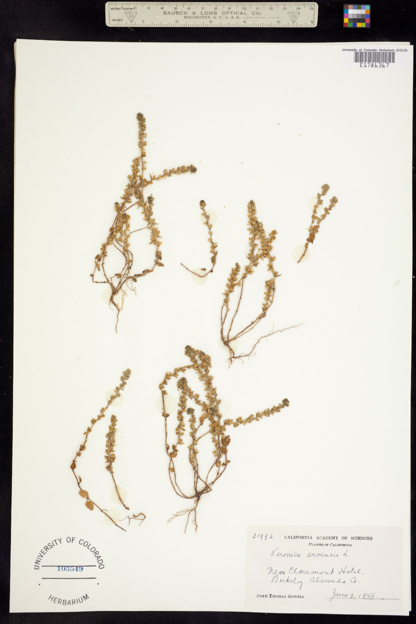 Pocilla arvensis image
