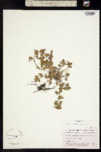 Pocilla persica image