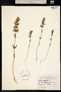 Image of Rhinanthus groenlandicus
